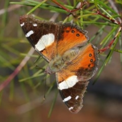 Vanessa itea (Yellow Admiral) at ANBG - 26 Aug 2019 by TimL
