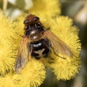Microtropesa sp. (genus) at Higgins, ACT - 27 Aug 2019