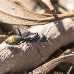 Camponotus aeneopilosus (A Golden-tailed sugar ant) at Higgins, ACT - 27 Aug 2019 by AlisonMilton