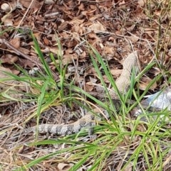 Tiliqua scincoides scincoides (Eastern Blue-tongue) at Florey, ACT - 27 Aug 2019 by nimma