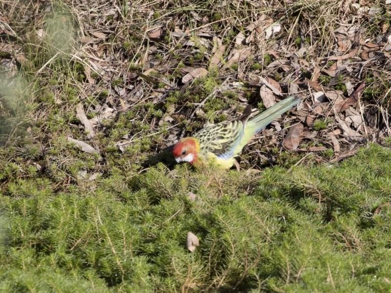 Platycercus eximius at Michelago, NSW - 14 Apr 2019