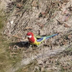 Platycercus eximius at Illilanga & Baroona - 14 Apr 2019