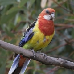 Platycercus eximius (Eastern Rosella) at Illilanga & Baroona - 27 Jan 2018 by Illilanga