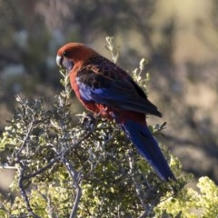 Platycercus elegans (Crimson Rosella) at Illilanga & Baroona - 17 Jan 2018 by Illilanga