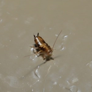 Blattodea sp. (order) at Acton, ACT - 26 Aug 2019
