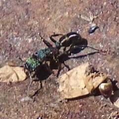Rhytidoponera metallica (Greenhead ant) at Gilmore Paddocks - 28 Aug 2019 by roymcd