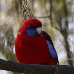 Platycercus elegans (Crimson Rosella) at Black Mountain - 28 Aug 2019 by ClubFED