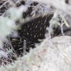 Tachyglossus aculeatus (Short-beaked Echidna) at Michelago, NSW - 26 Aug 2019 by Illilanga