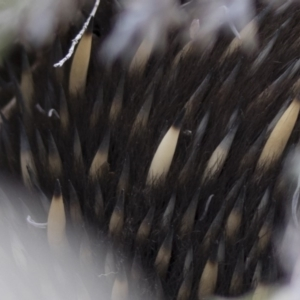 Tachyglossus aculeatus at Michelago, NSW - 26 Aug 2019