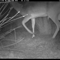 Dama dama (Fallow Deer) at Illilanga & Baroona - 15 Jul 2019 by Illilanga