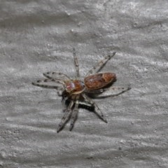 Helpis minitabunda (Jumping spider) at ANBG - 26 Aug 2019 by TimL