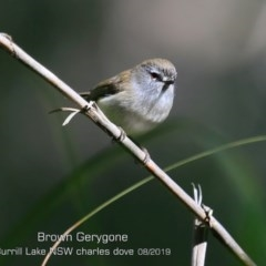 Gerygone mouki (Brown Gerygone) at Meroo National Park - 23 Aug 2019 by CharlesDove
