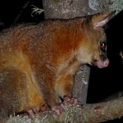 Trichosurus vulpecula (Common Brushtail Possum) at Brogo, NSW - 26 Aug 2019 by MaxCampbell
