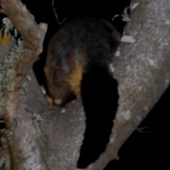 Trichosurus vulpecula at Brogo, NSW - 26 Aug 2019