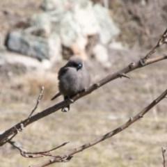 Artamus cyanopterus (Dusky Woodswallow) at Namadgi National Park - 28 Aug 2019 by SWishart