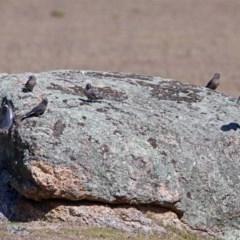 Artamus cyanopterus (Dusky Woodswallow) at Tidbinbilla Nature Reserve - 28 Aug 2019 by RodDeb