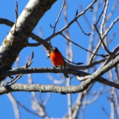 Petroica phoenicea (Flame Robin) at Tidbinbilla Nature Reserve - 28 Aug 2019 by RodDeb