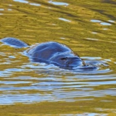 Ornithorhynchus anatinus (Platypus) at Tidbinbilla Nature Reserve - 28 Aug 2019 by RodDeb