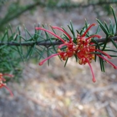 Grevillea juniperina subsp. fortis (Grevillea) at Isaacs Ridge and Nearby - 27 Aug 2019 by Mike
