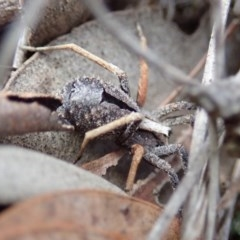 Argoctenus sp. (genus) (Wandering ghost spider) at Mount Painter - 27 Aug 2019 by CathB