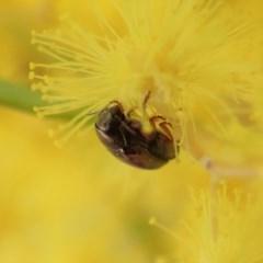 Ditropidus sp. (genus) (Leaf beetle) at Mount Painter - 27 Aug 2019 by CathB