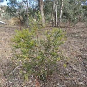 Acacia buxifolia subsp. buxifolia at Mount Mugga Mugga - 30 Aug 2019