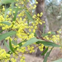 Acacia rubida (Red-leaved Wattle) at Mount Mugga Mugga - 29 Aug 2019 by KumikoCallaway