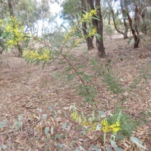 Acacia rubida at Mount Mugga Mugga - 30 Aug 2019