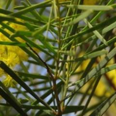 Acacia boormanii at Mount Mugga Mugga - 30 Aug 2019