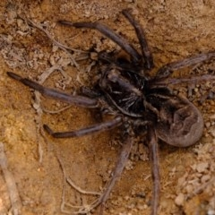 Tasmanicosa sp. (genus) (Unidentified Tasmanicosa wolf spider) at Lower Molonglo Water Quality Control Centre - 30 Aug 2019 by Kurt