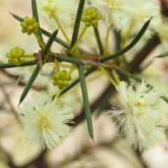 Acacia genistifolia (Early Wattle) at Mount Mugga Mugga - 30 Aug 2019 by KumikoCallaway