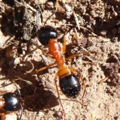 Camponotus consobrinus (Banded sugar ant) at Mount Ainslie - 30 Aug 2019 by Christine