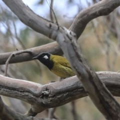 Nesoptilotis leucotis (White-eared Honeyeater) at ANBG - 30 Aug 2019 by Alison Milton
