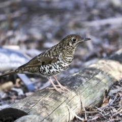 Zoothera lunulata (Bassian Thrush) at ANBG - 30 Aug 2019 by Alison Milton