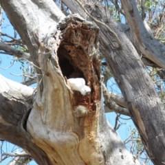 Cacatua galerita (Sulphur-crested Cockatoo) at Mount Mugga Mugga - 30 Aug 2019 by KumikoCallaway