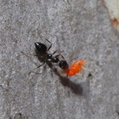Myrmecorhynchus emeryi (Possum Ant) at ANBG - 28 Aug 2019 by TimL