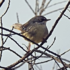 Sericornis frontalis (White-browed Scrubwren) at Jerrabomberra Wetlands - 30 Aug 2019 by RodDeb