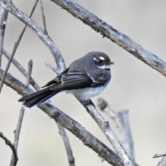 Rhipidura fuliginosa (Grey Fantail) at Jerrabomberra Wetlands - 30 Aug 2019 by RodDeb