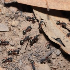 Dolichoderus scabridus (Dolly ant) at ANBG - 28 Aug 2019 by TimL