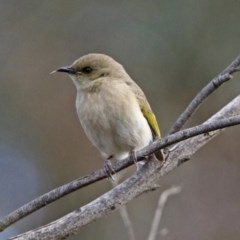 Ptilotula fuscus (Fuscous Honeyeater) at Jerrabomberra Wetlands - 30 Aug 2019 by RodDeb