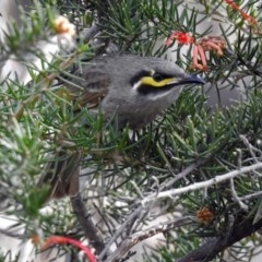 Caligavis chrysops (Yellow-faced Honeyeater) at Jerrabomberra Wetlands - 30 Aug 2019 by RodDeb