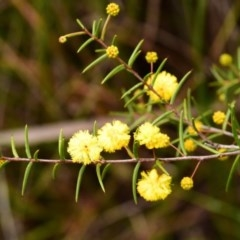Acacia brownii (Heath Wattle) at South Pacific Heathland Reserve - 1 Sep 2019 by NicholasdeJong
