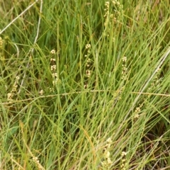 Lomandra glauca at South Pacific Heathland Reserve - 31 Aug 2019