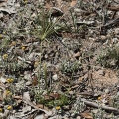 Chloris truncata at Michelago, NSW - 12 Jan 2019