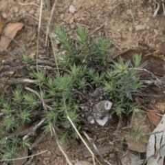 Melichrus urceolatus at Michelago, NSW - 5 Apr 2019