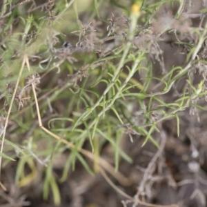 Chrysocephalum semipapposum at Illilanga & Baroona - 15 Dec 2018