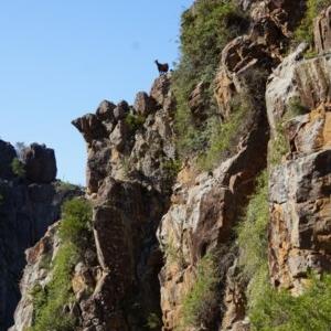 Capra hircus at Big Hill, NSW - 2 Aug 2019
