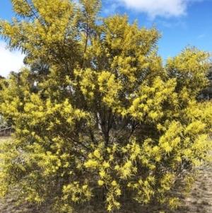 Acacia rubida at Hughes Grassy Woodland - 22 Sep 2019