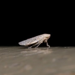 Cicadellidae sp. (family) (Unidentified leafhopper) at ANBG - 28 Aug 2019 by TimL