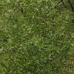 Acacia melanoxylon at Brogo, NSW - 30 Aug 2019